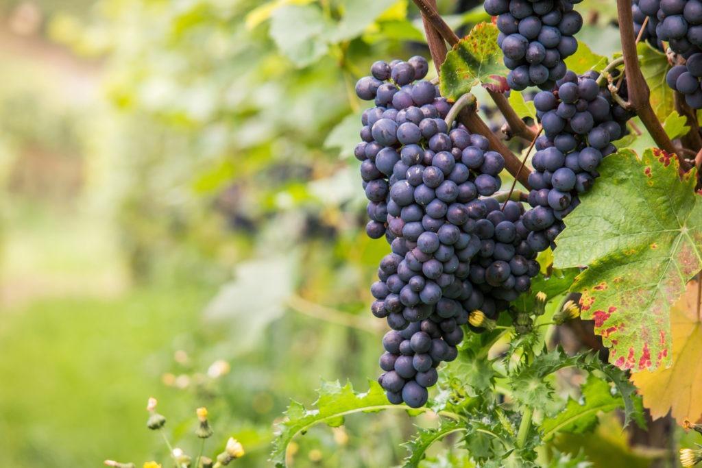 Grappe de vigne